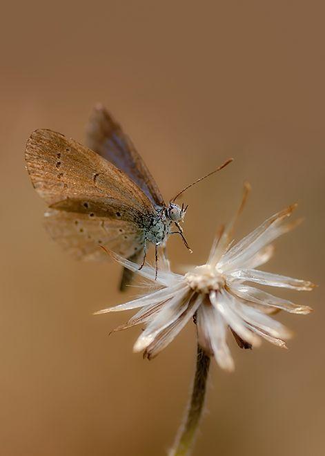 lesser grass blue butterfly