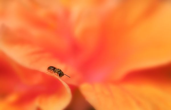 bee on hibiscus Double Orange