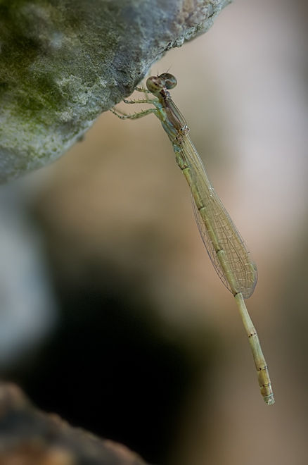 young damselfly