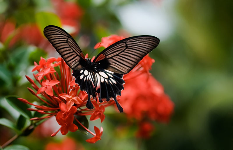 great mormon papilio memnon