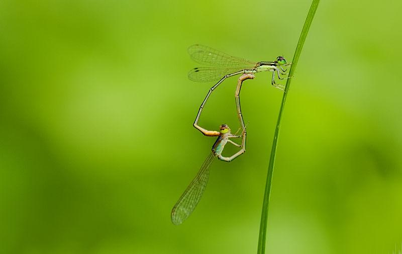 mating damselfly Agriocnemis femina oryzae