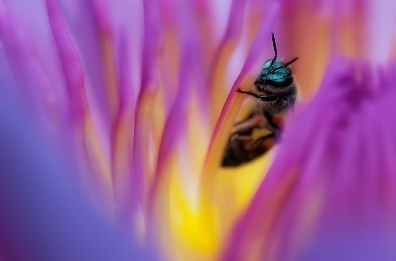 little bee inside purple waterlily