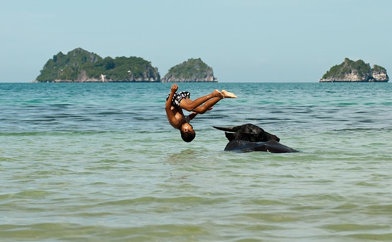 child diving of a water buffalo Koh Samui