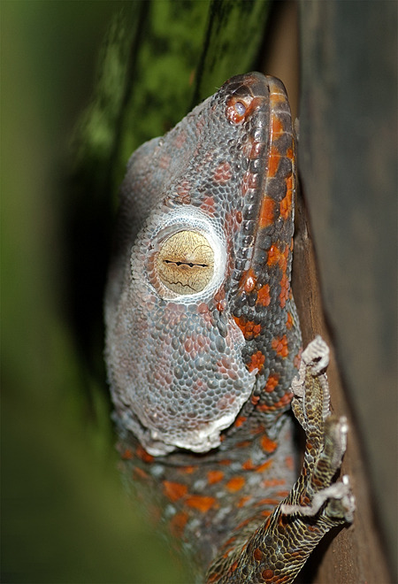shedding tokay gecko