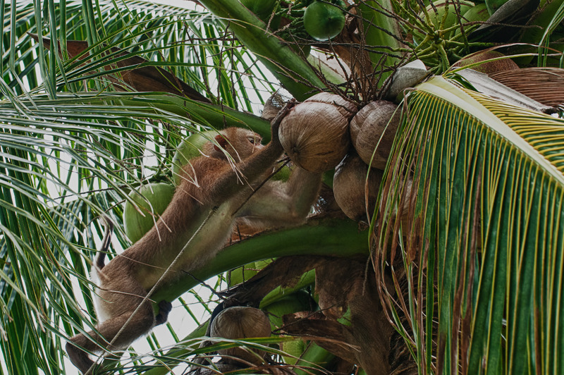 coconut monkey turning coconuts