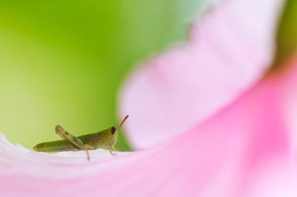 nymp grasshopper on pink hibiscus