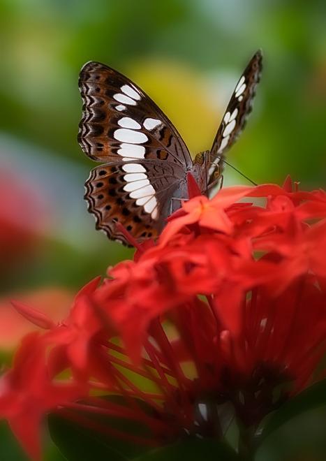 butterfly commandor procris milonia