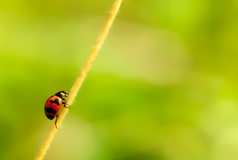 transverse ladybird coccinellidae transversalis