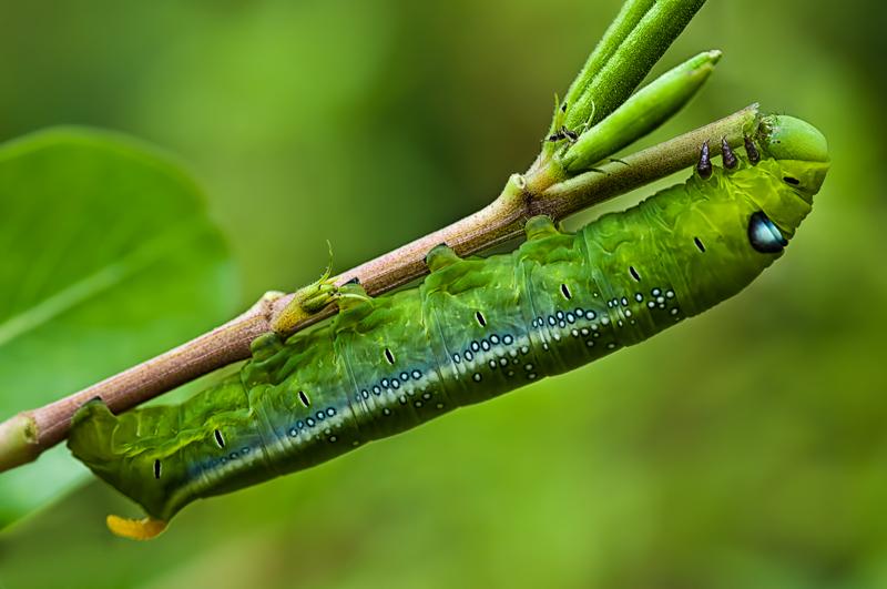 green caterpillar Oleander Hawk Moth daphnis nerii