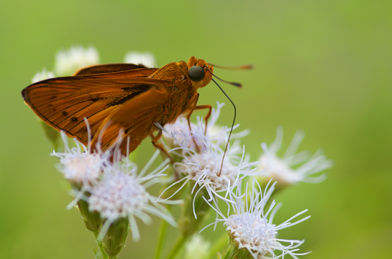 butterfly plain palm dart