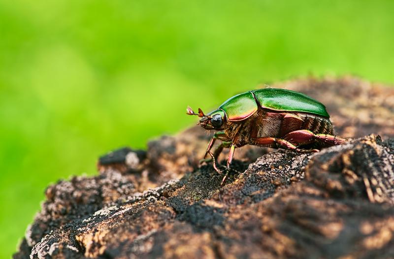scarab beetle anomala sp rutelinae