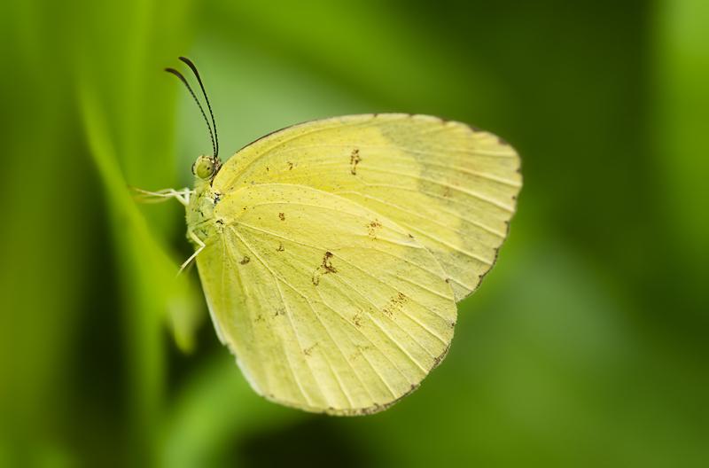 three-spot grass yellow pieridae