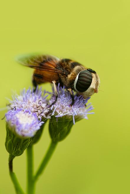 hoverfly Phytomia errans