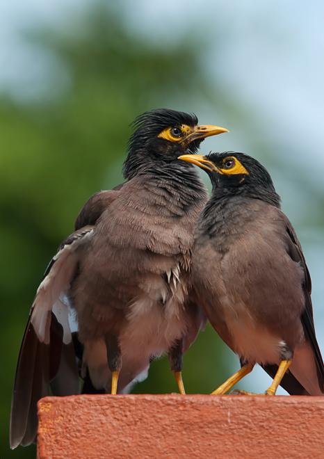 myna bird acridotheres tristis