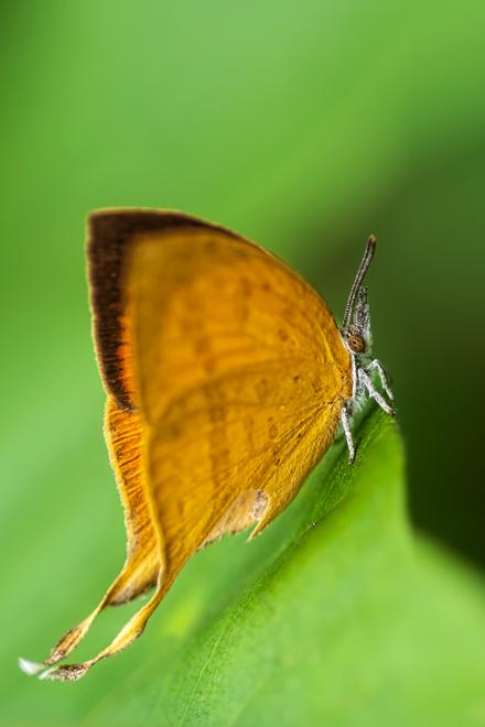 yamfly loxura atymnus
