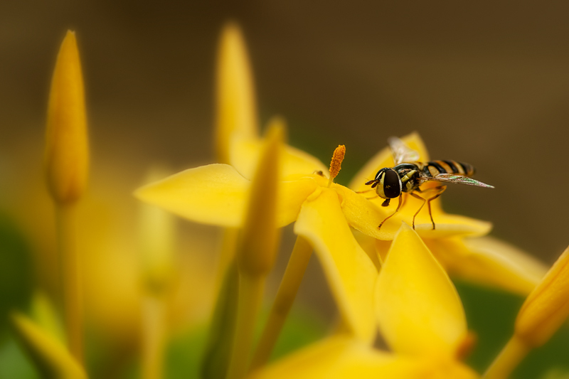 hoverfly on yellow ixora