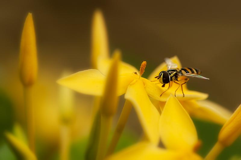 hoverfly on yellow ixora