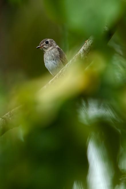 asian brown flycatcher muscicapa dauurica