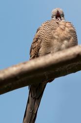 sleepy zebra dove