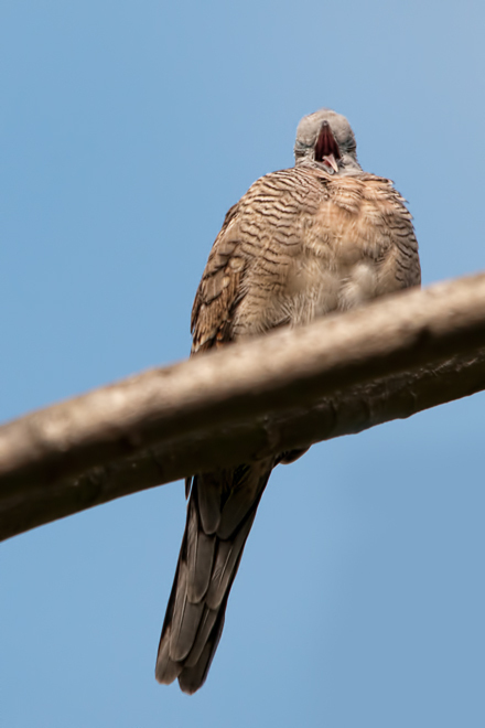 sleepy zebra dove