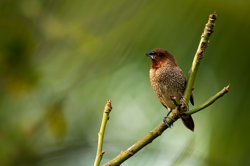 Scaly-breasted Munia lonchura punctulata