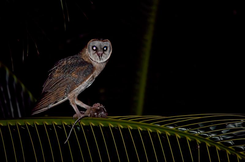 barn-owl with prey