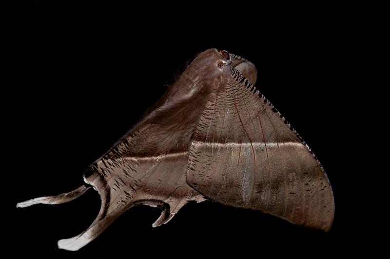 tropical swallowtail moth lyssa zampa