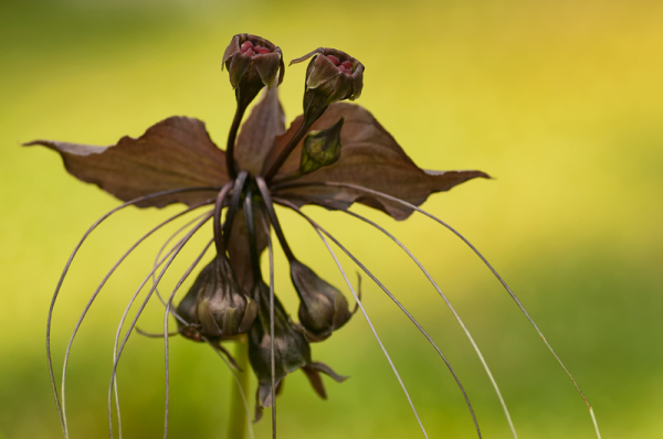 black bat flower vleermuisbloem