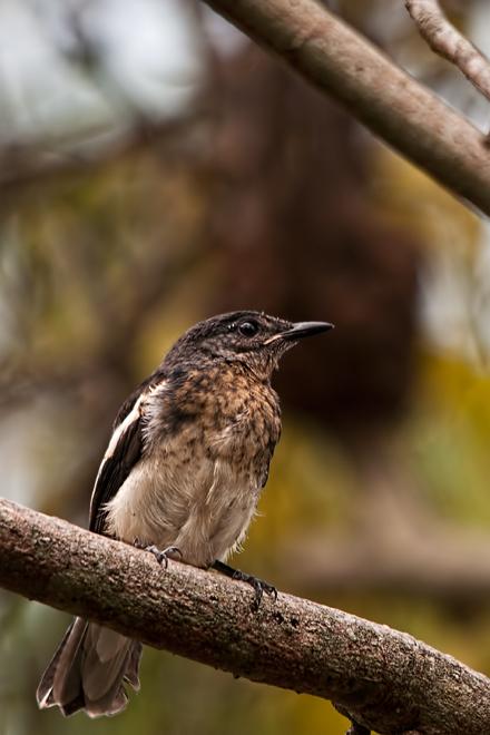oriental magpie-robin juvenile Copsychus saularis
