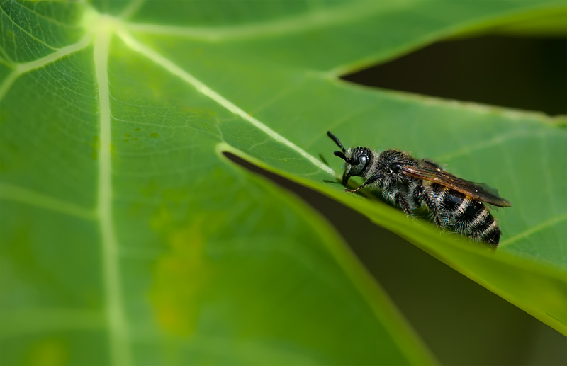 insect leaf-cutter bee
