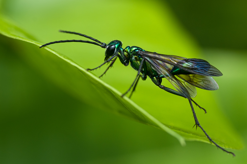 metallic blue and green thread-waisted wasp