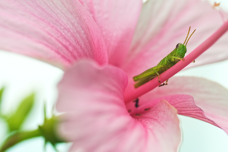 nymph grasshopper on pink hibiscus