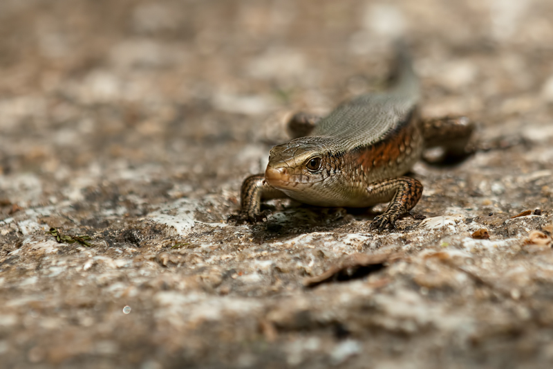 many-lined sunskink