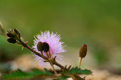 touch-me-not mimosa pudica