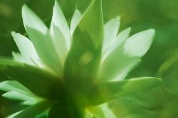 reflection white waterlily