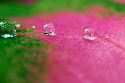 water drops on pink green leaf