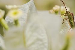 bug in white bougainvillea