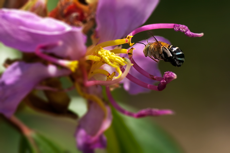 blue banded bee on singapore rhododendron