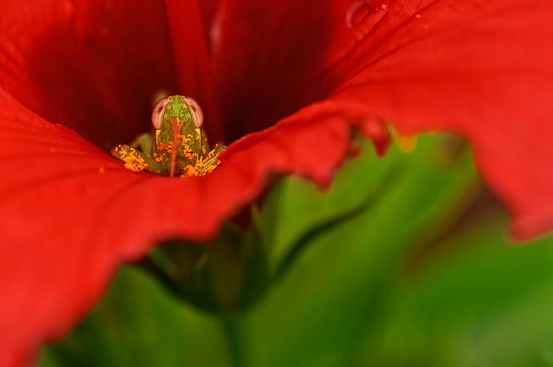 grasshopper in hisbiscus