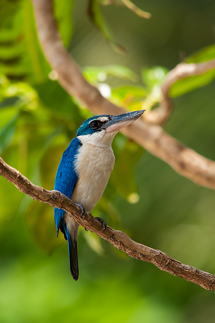 collared kingfisher thailand