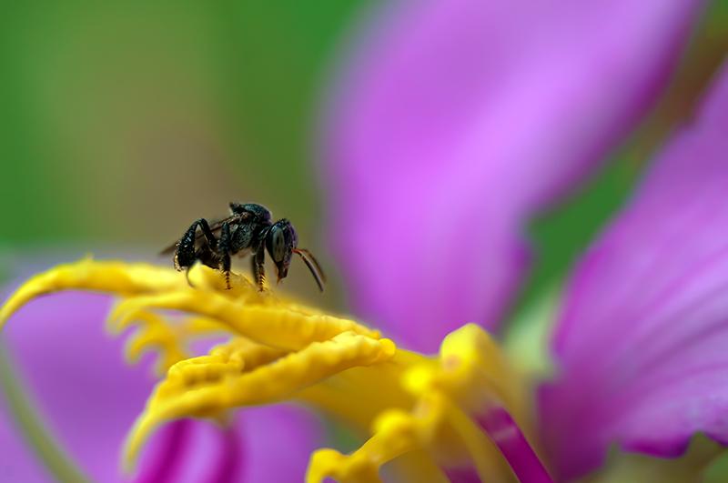 macro photo bee