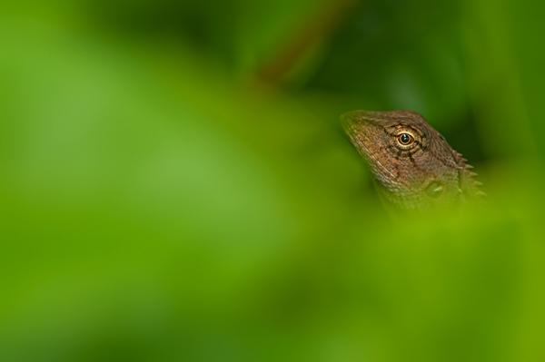 garden fence lizard hiding