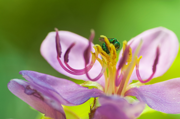 sweat bee on Singapore Rhododendron