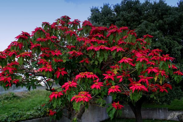 Açores Azzorre Poinsettia