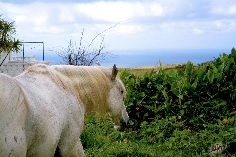 Açores Azzorre Cavalli