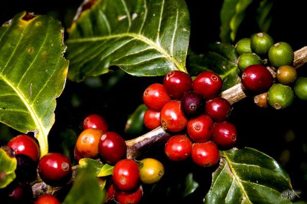 Açores Azzorre Caffè