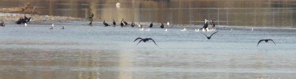 Mouettes et cormorans