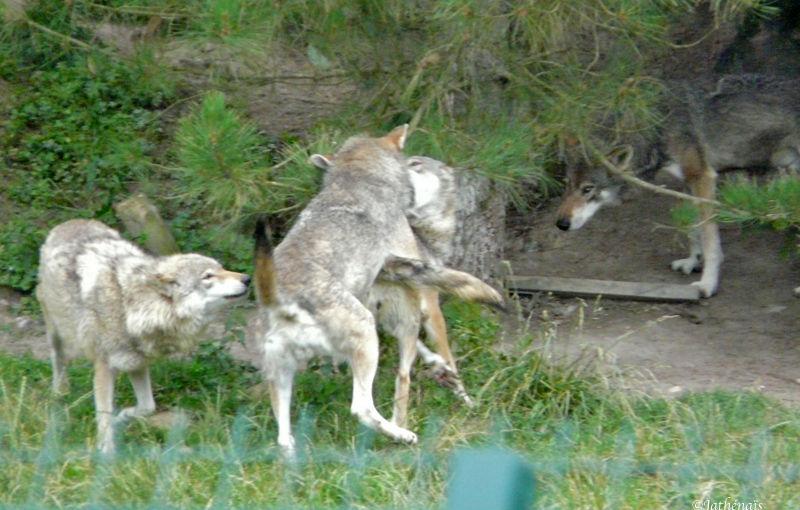 Dans e avec les loups