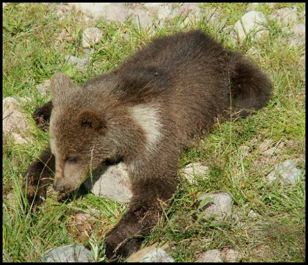 Brown baby bears