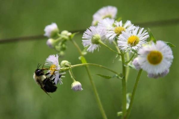 bumlebee daisy